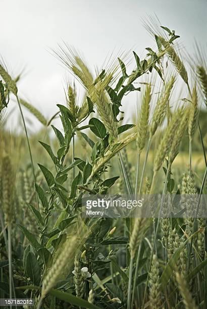 Weeds im Sommer Weizen Feld