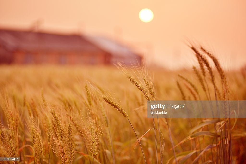 Wheat Wheat Fields