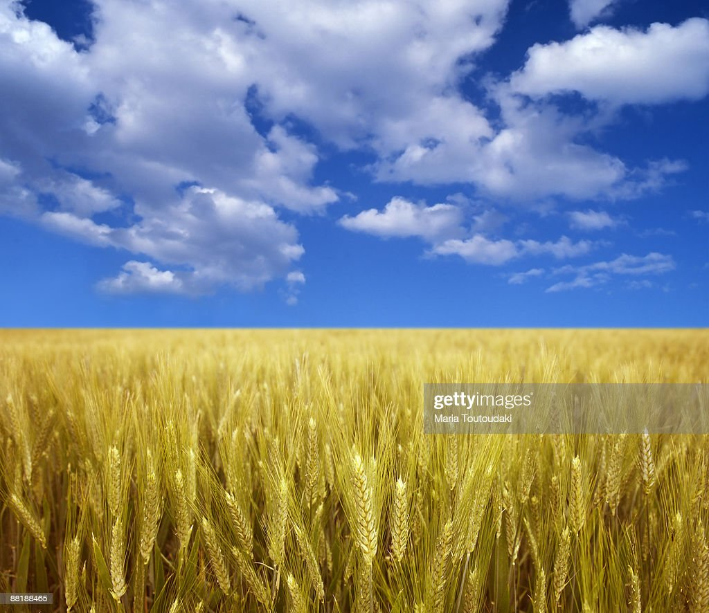 Wheatfield and blue sky : Stock Photo