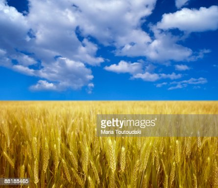 Wheatfield and blue sky : Bildbanksbilder
