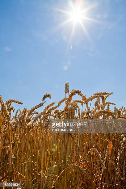 Wheatfield in sunlight