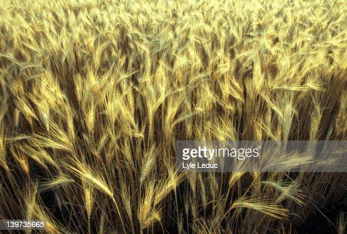 Wheatfield : Stock Photo