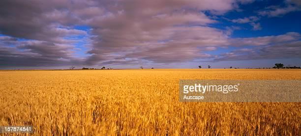 Wheatfield region of Horsham Wimmera western Victoria Australia