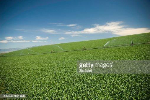 Wheatfields, late spring : Stock Photo