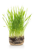 Wheatgrass blades and roots exposed