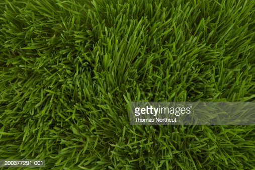Wheatgrass, full frame : Stockfoto