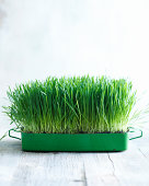 Wheatgrass growing in small container