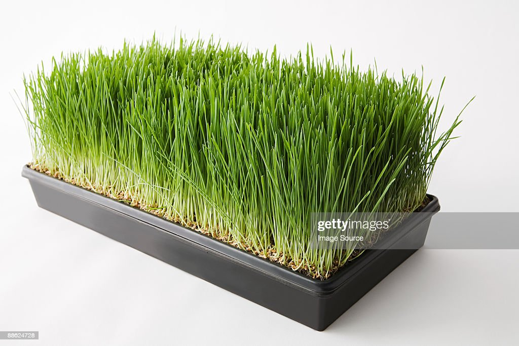 Wheatgrass Pictures 51
