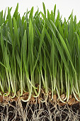 Wheatgrass with exposed roots