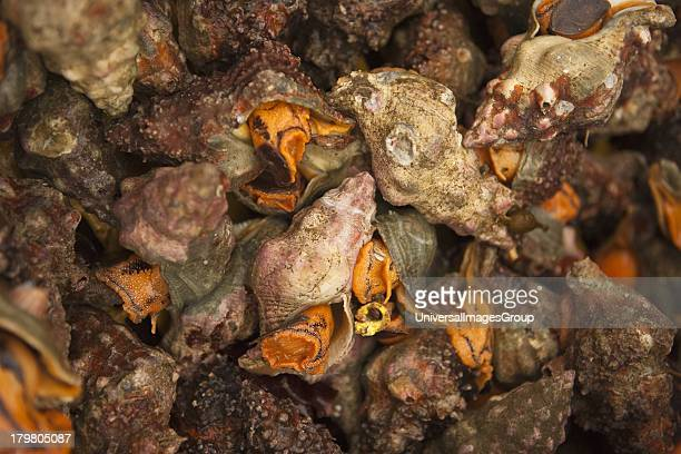 Whelks for sale at the Harbor and Seafood Festival Santa Barbara California