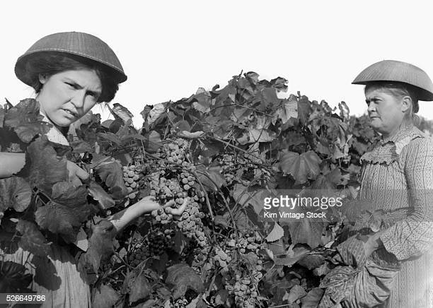 While wearing baskets as hats a mother and daughter harvest grapes
