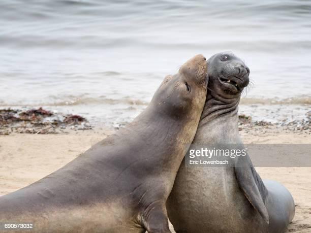 Whimsical Elephant Seals