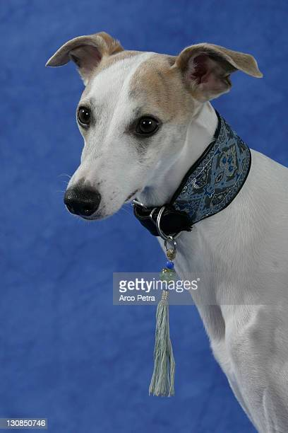 Whippet Stock Photos And Pictures Getty Images