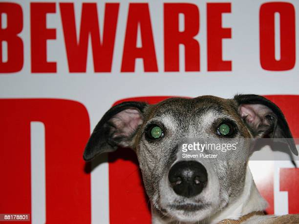 Whippet in front of beware of dog sign