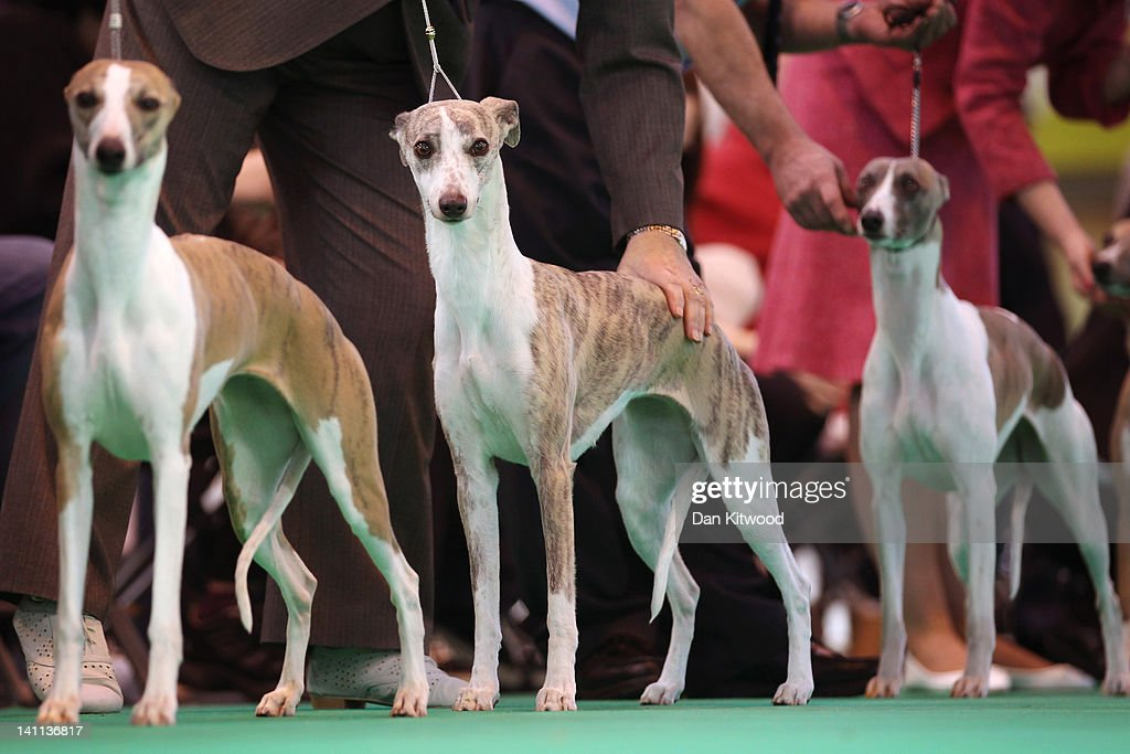 Whippets are judged in the ring on the fourth and final day of Crufts at the Birmingham NEC Arena on March 11, 2012 in Birmingham, England. During the annual four-day competition nearly 22,000 dogs and their owners will compete for a variety of accolades, ultimately seeking the coveted title of 'Best In Show'.