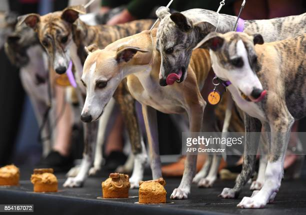 Whippets gather at Madison Square Garden on September 26 2017 to celebrate 125 years of their competition in the Annual Westminster Kennel Club Dog...