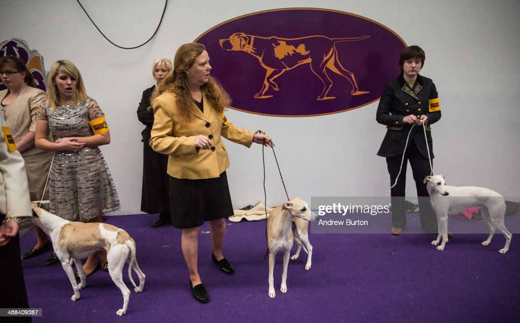 Whippets wait to compete in the 138th annual Westminster Dog Show at the Piers 92/94 on February 10, 2014 in New York City. The annual dog show showcases the best dogs from around world for the next two days in New York.