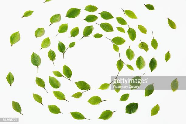 Whirl of beech leaves on a white background