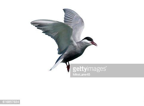 Whiskered tern, Chlidonias hybridus : Stock Photo