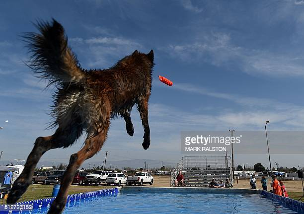 Whiskey the dog leaps into the water to record the distance of his jump during the Dock Dogs West Coast Challenge in Bakersfield California on...