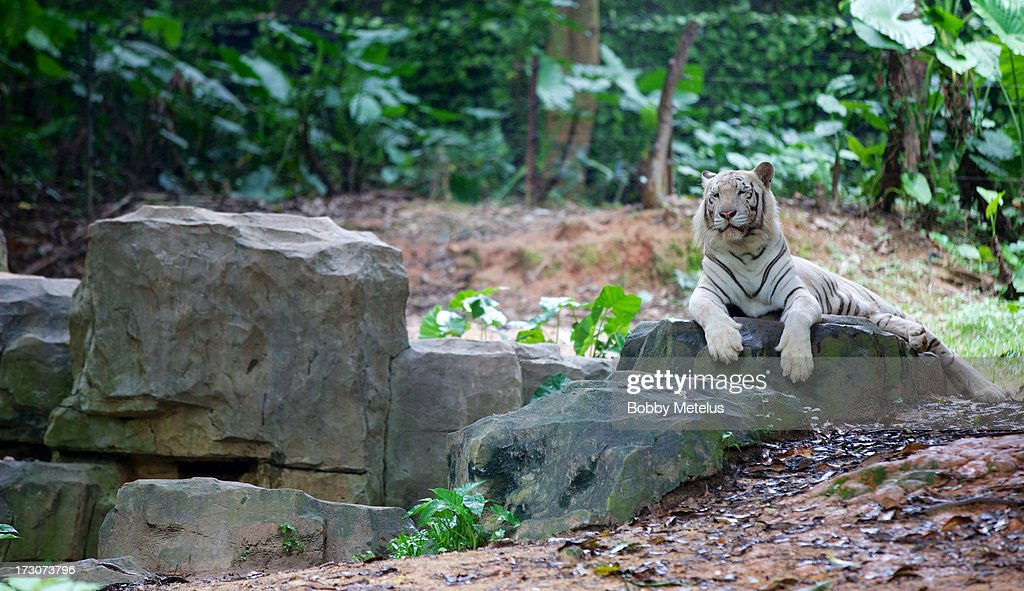 A whit tiger sits on a rock at Chimelong Safari Park on July 6, 2013 in Guangzhou, China.