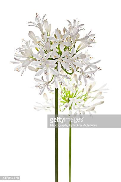 White Agapanthus flowers