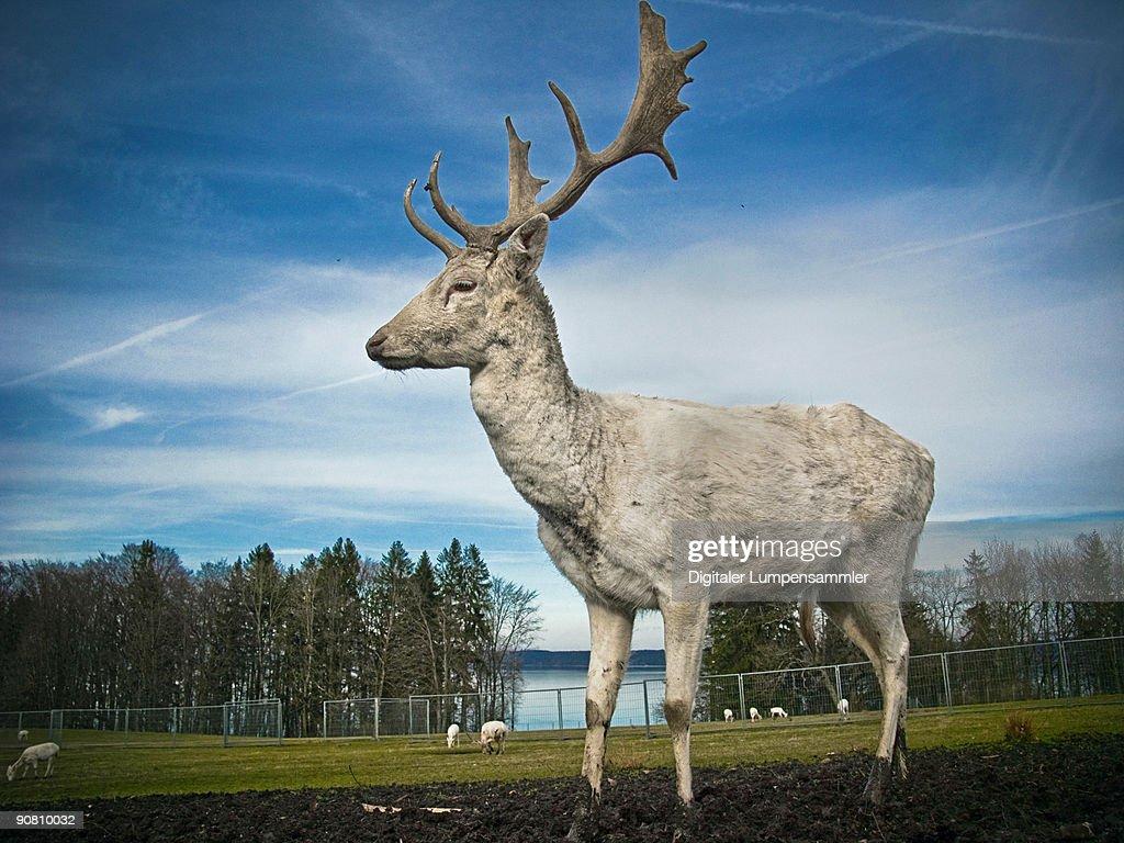 white albino deer : Stock Photo