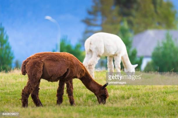Witte alpaca in Zuid eiland, Nieuw-Zeeland