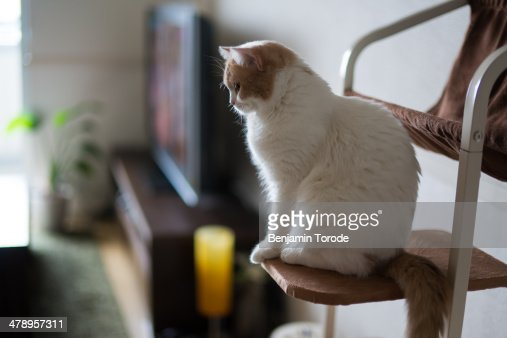 White and beige cat watching over living room : Stock Photo