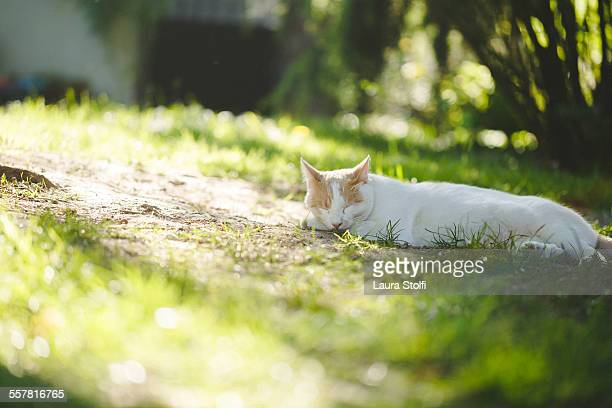 White and ginger cat sleeping in garden