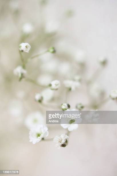White and green Gypsophilia baby's Breath Macro