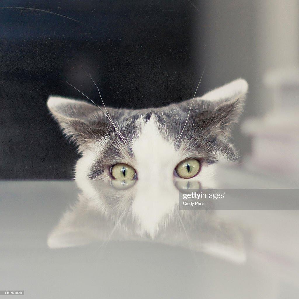 White and grey cat peeking over white table : Stock Photo