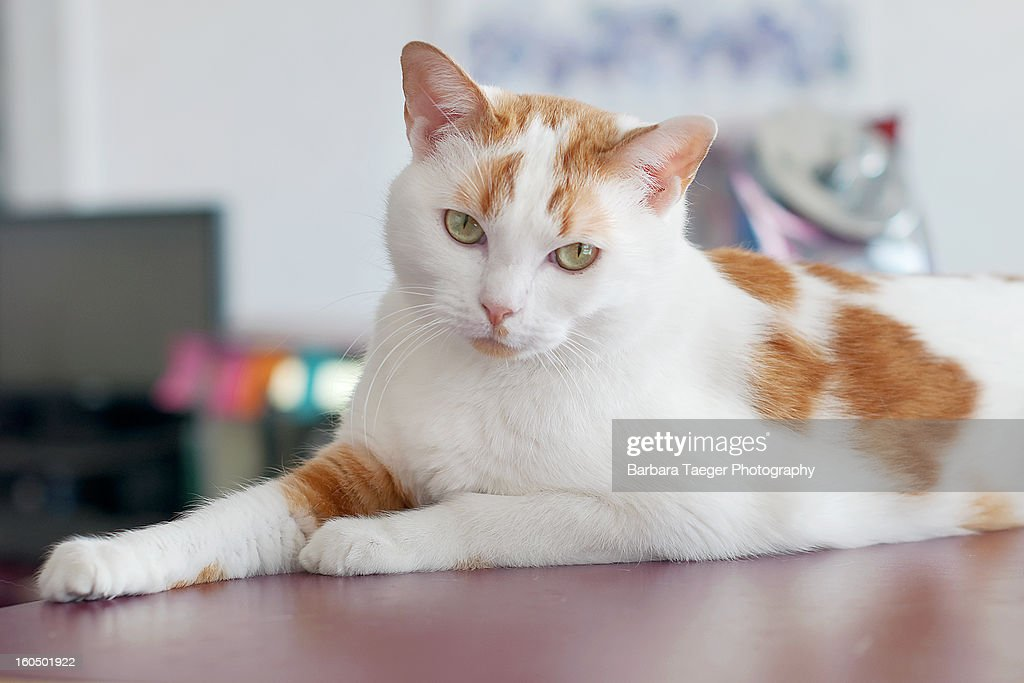 White and orange spotted cat : Stock Photo