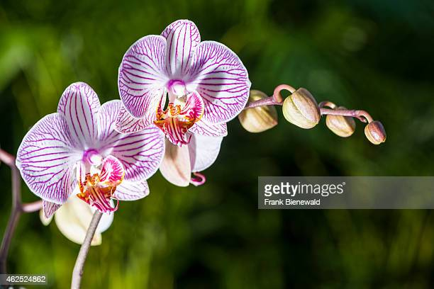 White and purple blossoms of an Orchid are blooming
