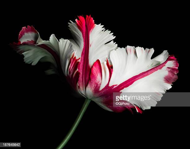 White and Red Parrot Tulip