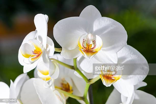 White and yellow blossoms of an Orchid are blooming