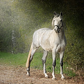 White arabian horse standing by hedge
