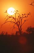 White backed Vulture (Gyps africanus) silhouette at sunset, Hwange, Zimbabwe