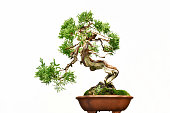 It is a Japanese traditional pine bonsai
