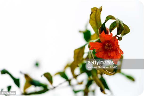 White background on pomegranate flower