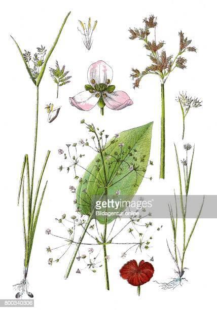 White beaksedge Rhynchospora alba lakeshore bulrush Scirpus lacustris chufa sedge nut grass yellow nutsedge Cyperus esculentus common waterplantain...