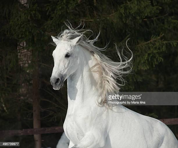 White beast