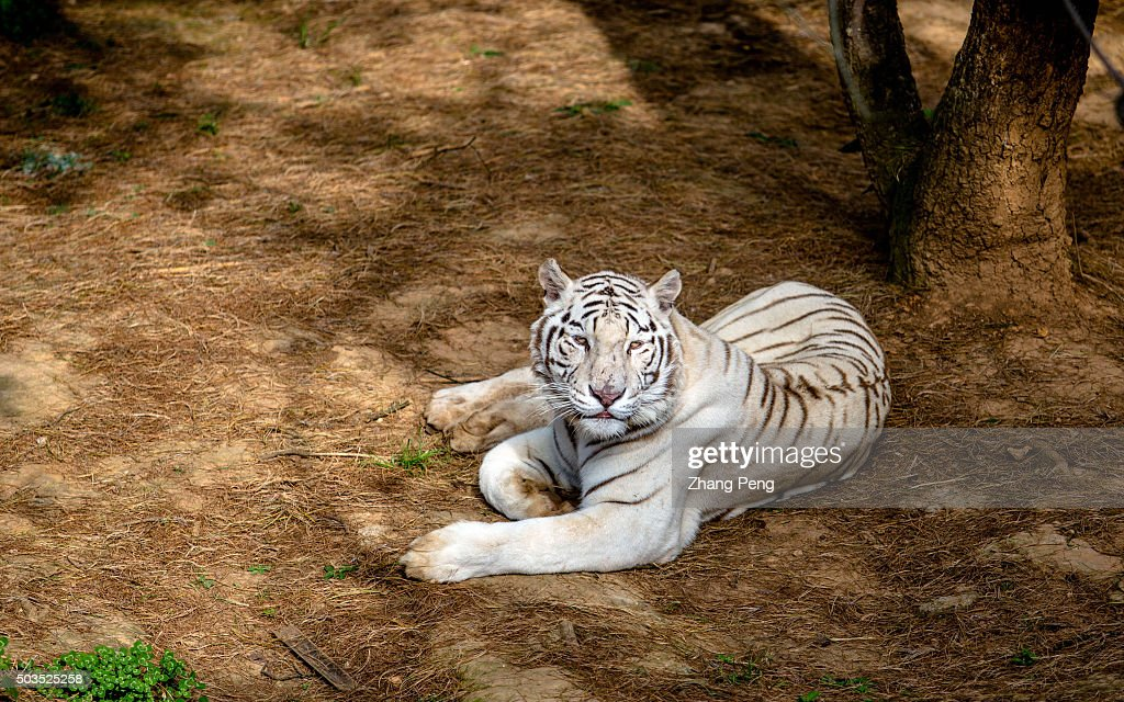 A white Bengal tiger lies down on the ground White tiger is a rare form of Bengal tiger possessing a gene which gives it the distinctive colouring It...