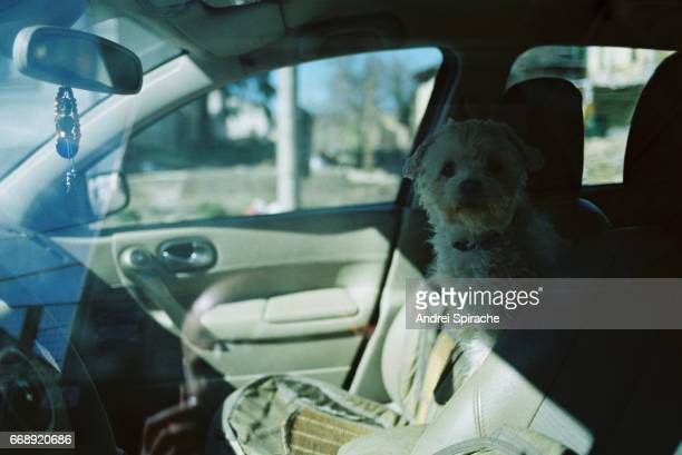 White bichon dog waiting in the back seat of a car