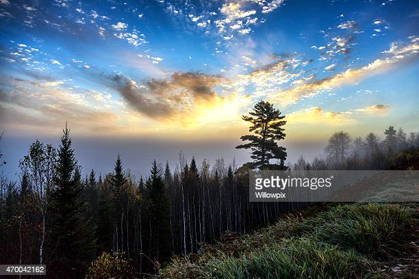 White Birch and Evergreen Forest Sunrise - New England USA