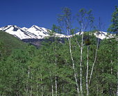 White birch forest and snowcapped Mt. Norikura, Nagano Prefecture, Japan
