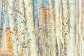 White birch forest background