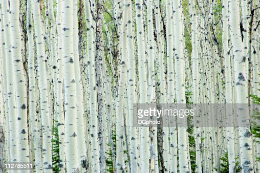 match & flirt with singles in birch tree Find your perfect match tell us about your space and we'll pair you with a  young's weeping birch is a selection of  size b trees: single stem 6'-8.