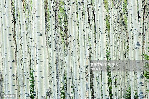 Blanc Bouleau forêt