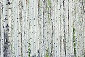 White birch tree forest